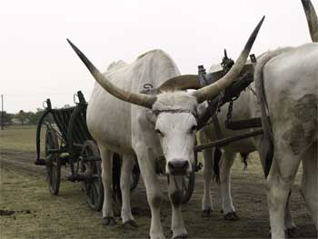 Hortobagy Grey bulloks with an ox cart.
